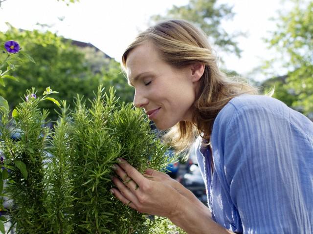 alecrim como plantar