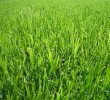 Doença na grama os fungos podem destruir o seu gramado
